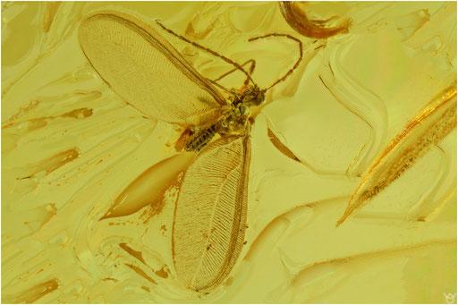 284. Coccina, Schildlaus, Baltic Amber