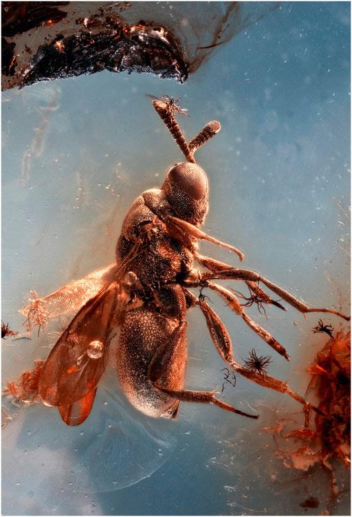 172b. Eurytomidae, Wespe, Baltic Amber