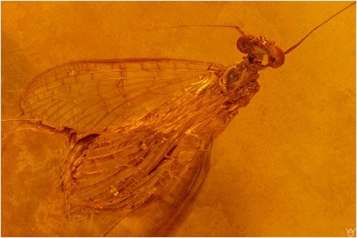 305. Ephemeroptera, Eintagsfliege, Baltic Amber