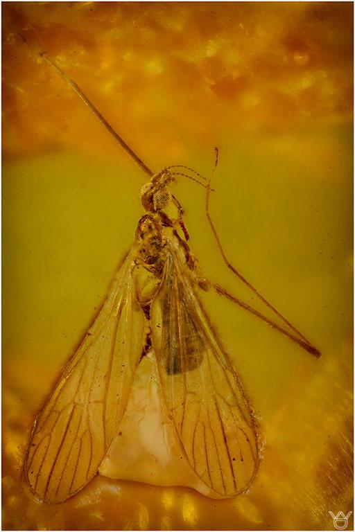 476. Nematocera, Mücke, Limoniidae, Stelzmücke, Baltic Amber