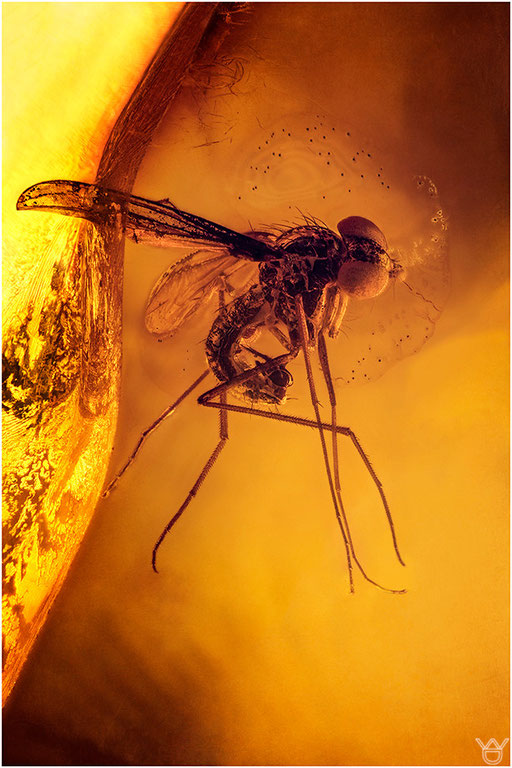 453. Brachycera, Fliege, Baltic Amber