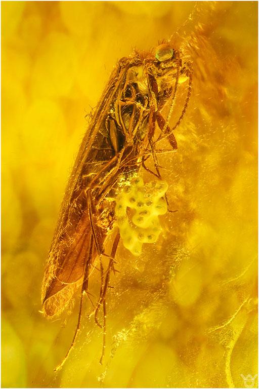 478. Trichoptera, Köcherfliege mit Eiern, Baltic Amber