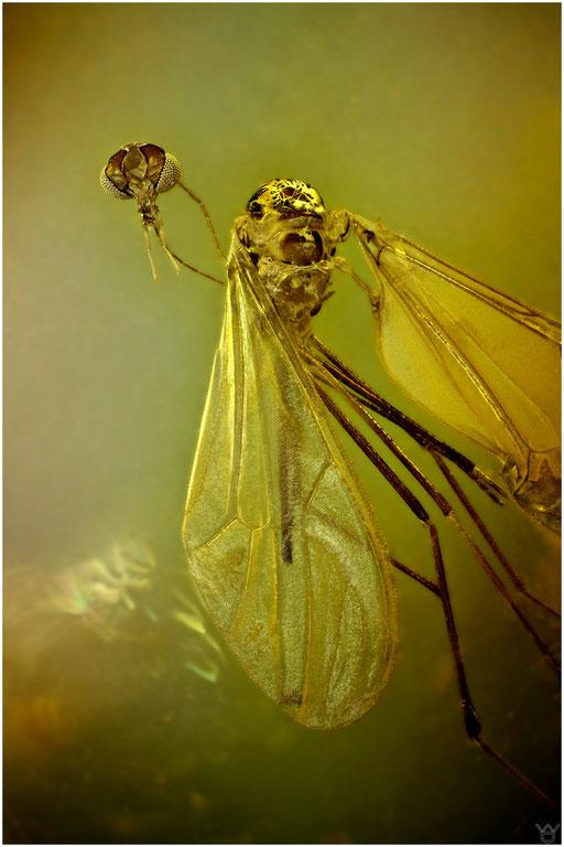5. Dixidae, Tastermücke, Baltic Amber