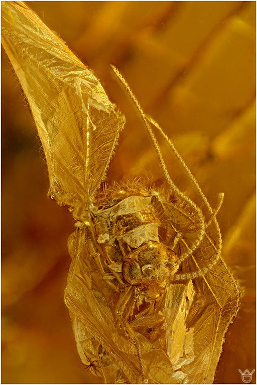 346. Neuroptera, Netzflügler, Baltic Amber