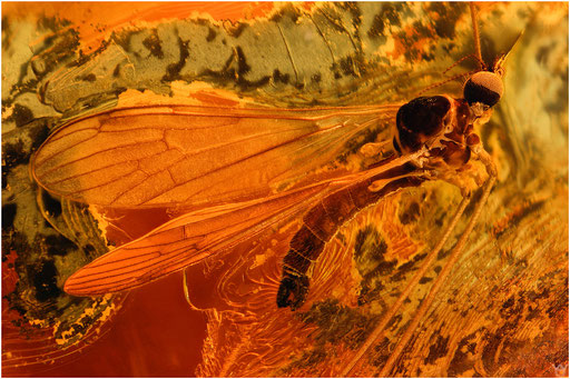 554. Nematocera, Mücke, Limoniidae, Stelzmücke, Baltic Amber