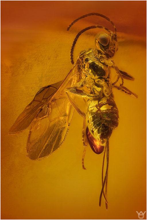 427. Hymenoptera, Wespe, Baltic Amber