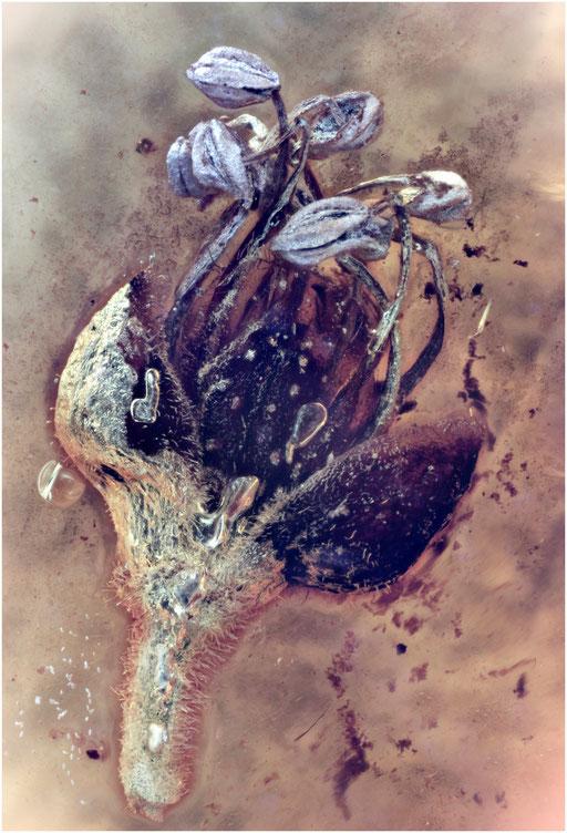 7042, Eichenblüte, Baltic Amber