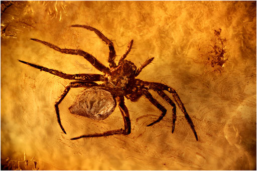 174. Araneae, Spinne, Baltic Amber