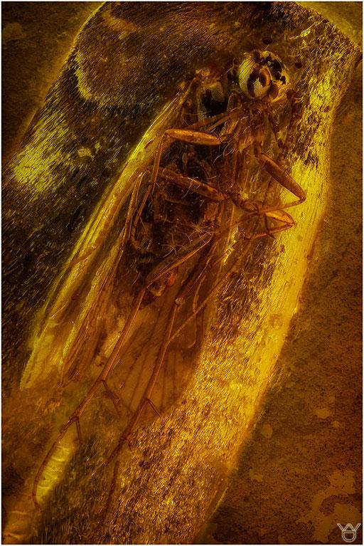 260. Trichoptera, Köcherfliege, Baltic Amber