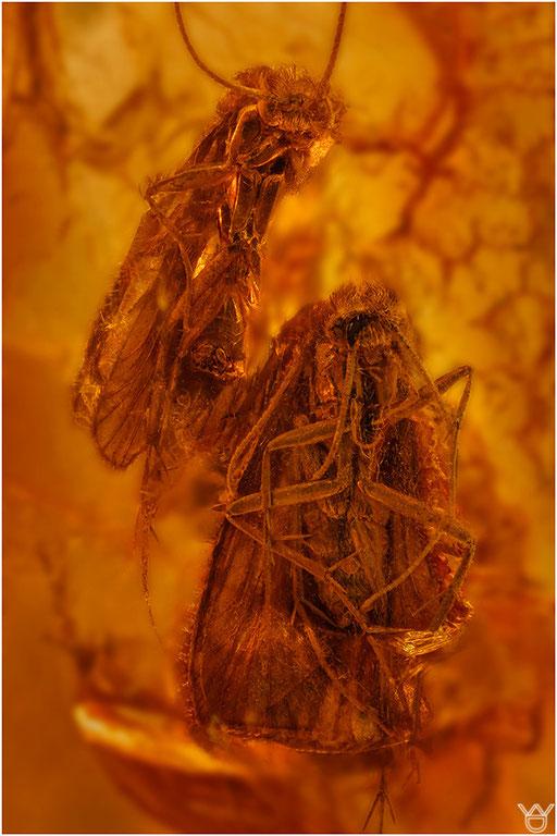 541. Trichoptera, Köcherfliege, Baltic Amber
