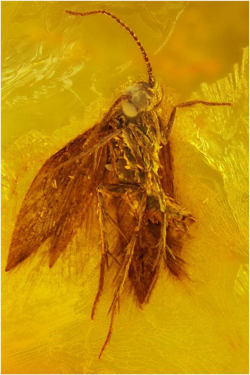 465. Trichoptera, Köcherfliege, Baltic Amber