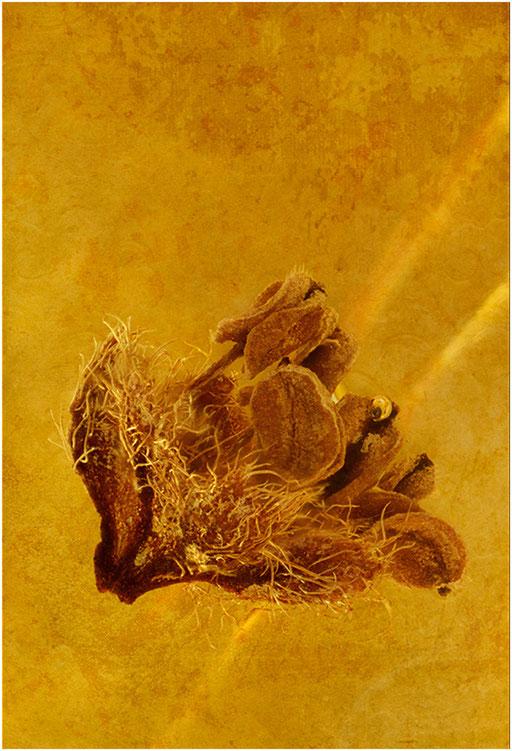 7002, Eichenblüte, Baltic Amber