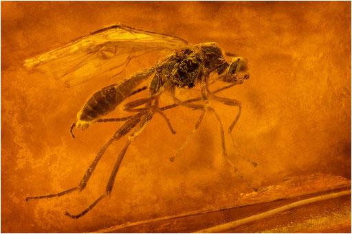 67. Hymenoptera, Wespe, Baltic Amber