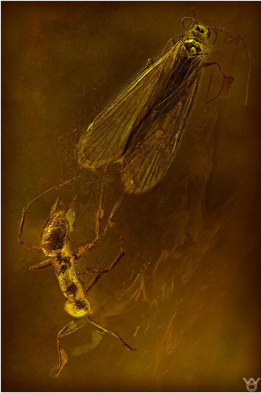 167. Trichoptera, Köcherfliege, Baltic Amber