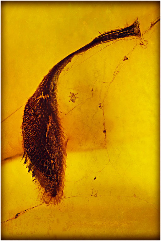 7043, Dominican Amber