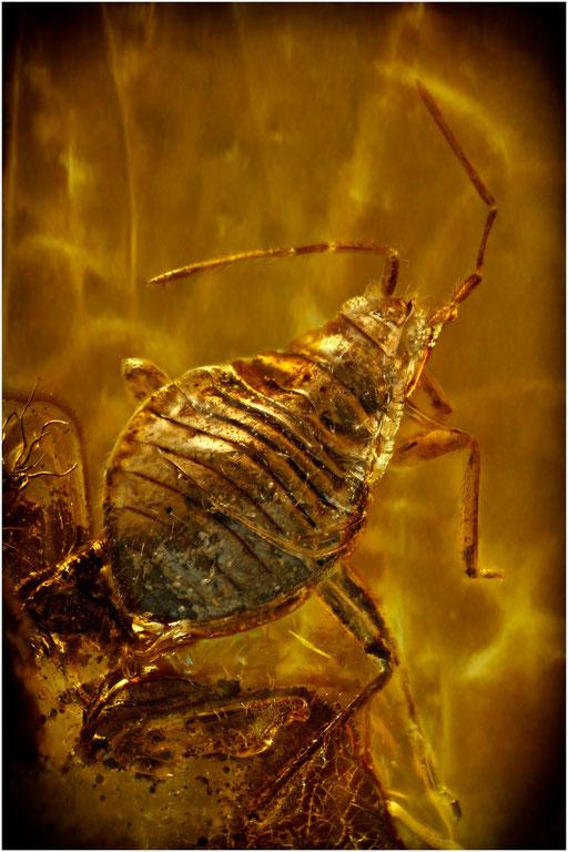 339. Heteroptera, Wanze, Baltic Amber