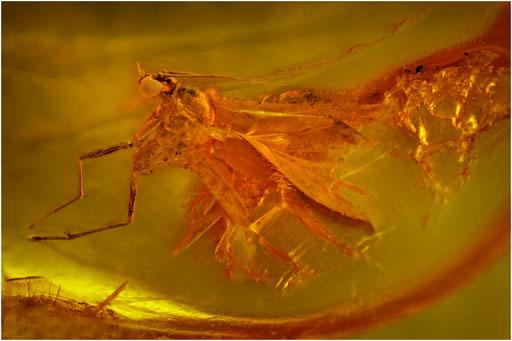 517. Nematocera, Mücke, Chironomidae, Zuckmücke, Baltic Amber