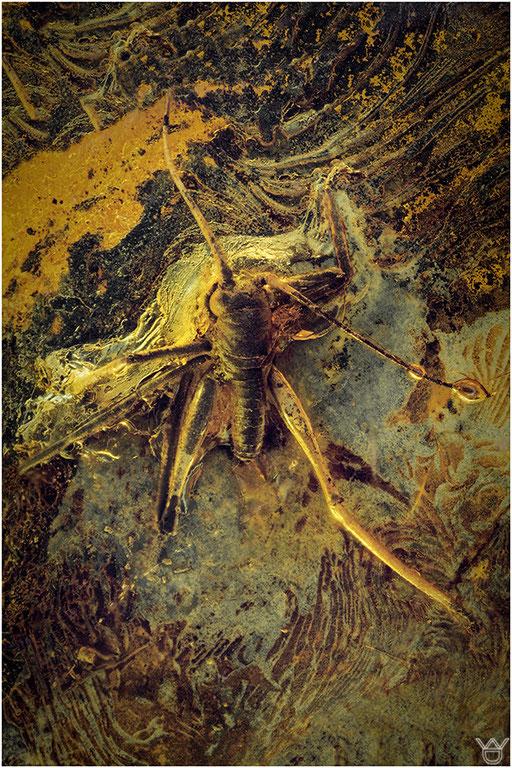 337. Springschrecke, Orthoptera, Baltic Amber