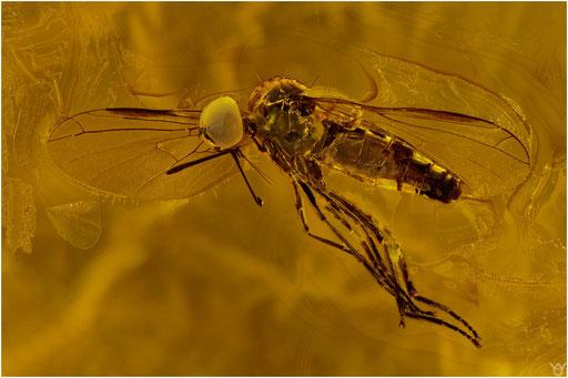 529. Brachycera, Fliege, Baltic Amber
