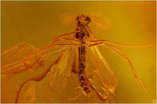 312. Nematocera, Mücke, Baltic Amber