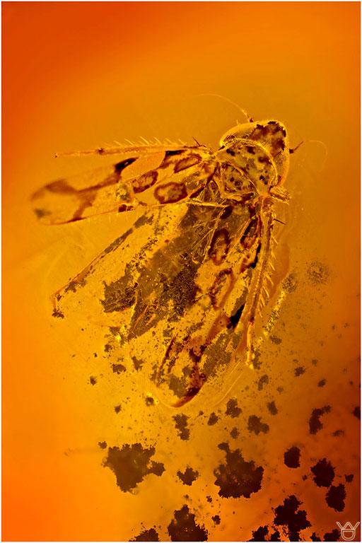 212. Cicadina, Zikade, Dominican Amber