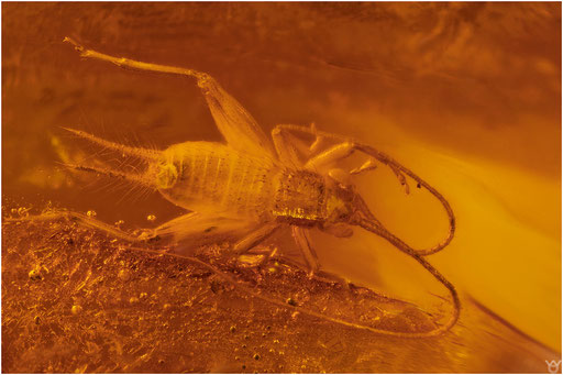 442. Orthoptera, Grillenlarve, Dominican Amber