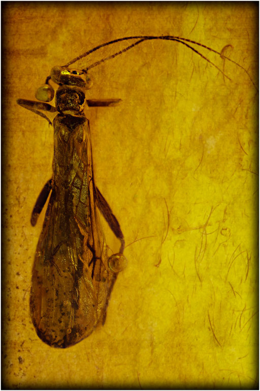 444. Plecoptera, Steinfliege, Baltic Amber