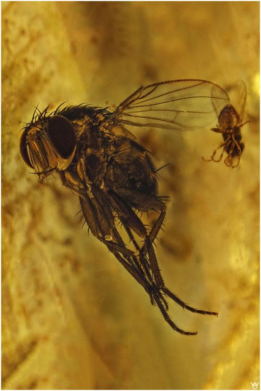 1340, Diptera, Copal