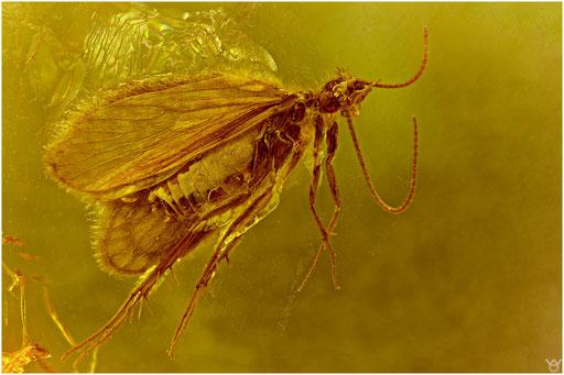 34. Trichoptera, Köcherfliege, Baltic Amber