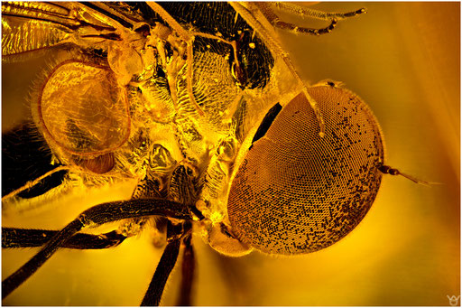 44b. Syrphidae, Schwebfliege, Baltic Amber