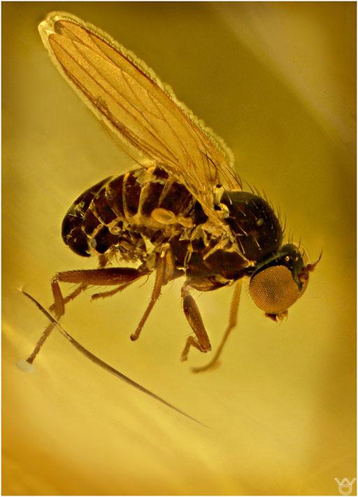 475. Brachycera, Fliege, Baltic Amber
