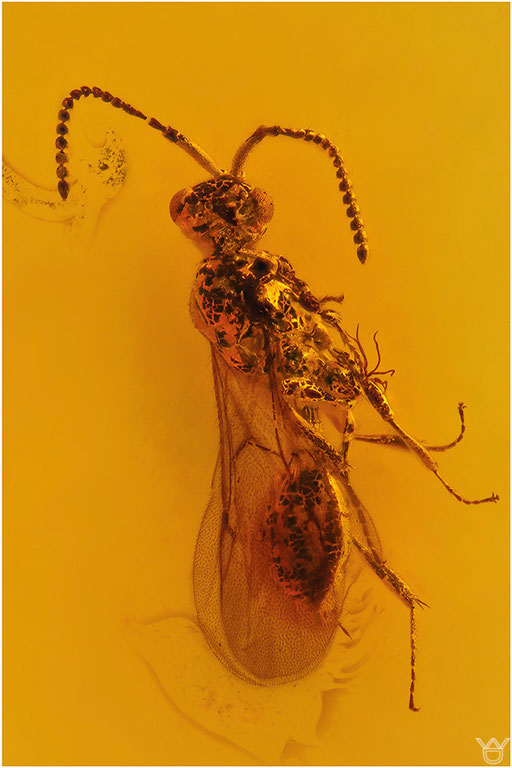490. Formicidae, Ameise, Dominican Amber