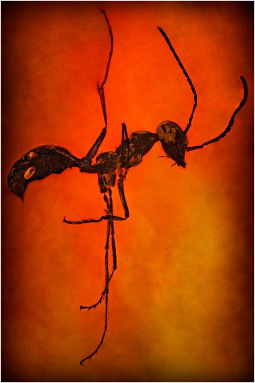 206. Formicidae, Ameise, Burmese Amber