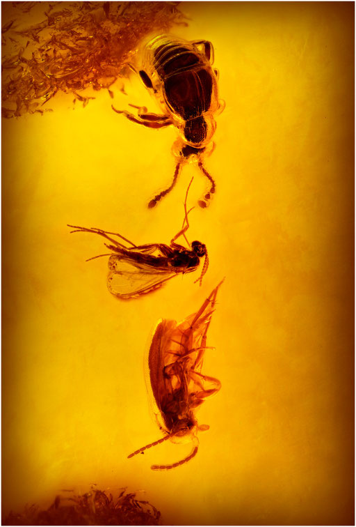 200. Pselaphidae, Palpenkäfer, Nematocera, Mücke, Baltic Amber