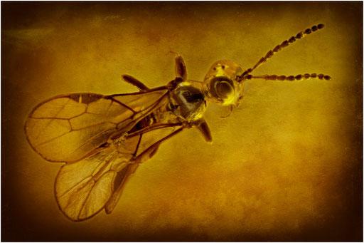 185. Braconidae, Brackwespe, Baltic Amber