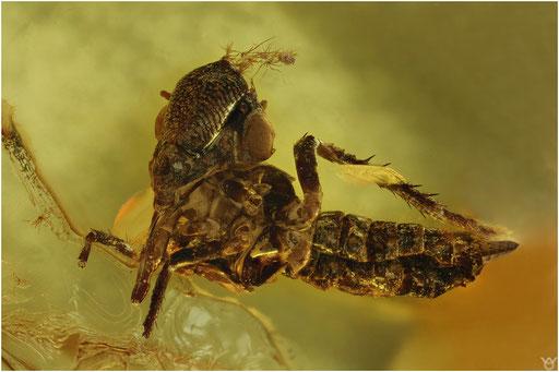 293. Cicadina, Zikade, Baltic Amber