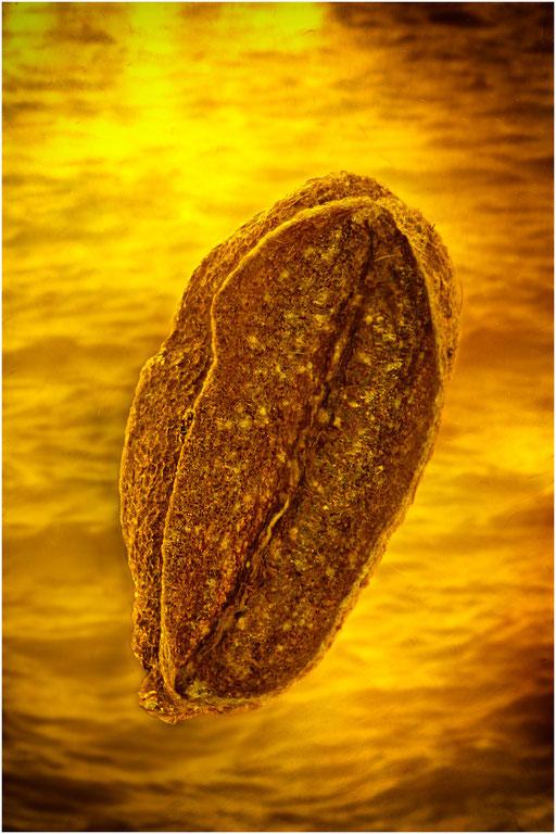 7181, Baltic Amber