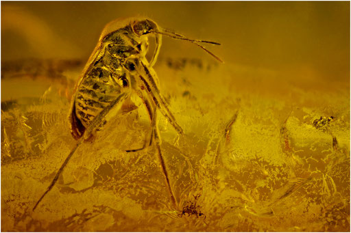 485. Heteroptera, Wanze, Baltic Amber