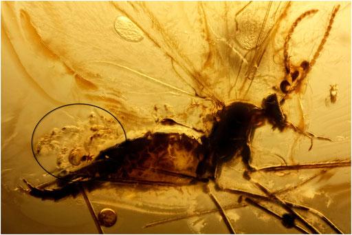 556. Nematocera, Mücke mit Milben, Baltic Amber