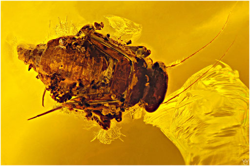 29. Psocoptera, Staublaus, Baltic Amber