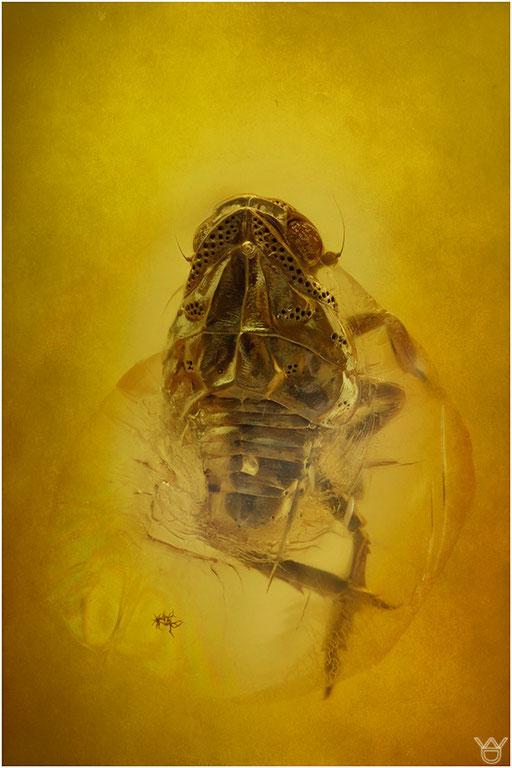 438. Cicadina, Zikade, Baltic Amber