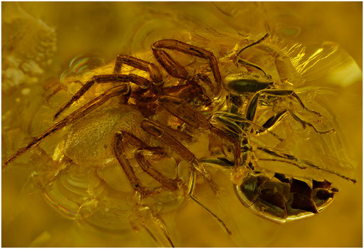 53. Araneae, Spinne, Formicidae, Ameise, Baltic Amber