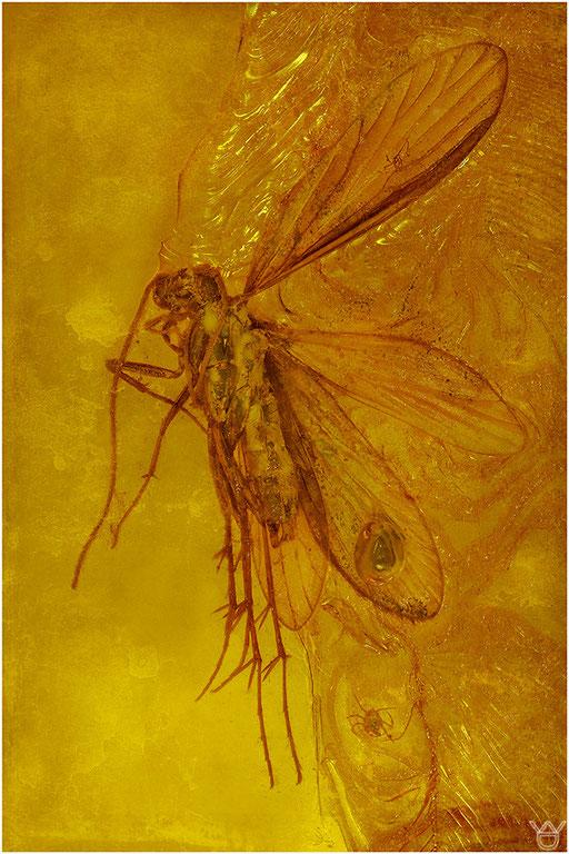 335. Trichoptera, Köcherfliege, Baltic Amber