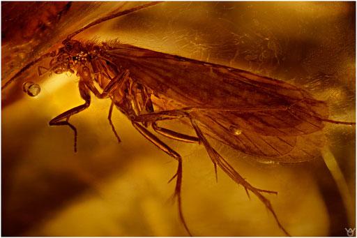 10. Trichoptera, Köcherfliege, Baltic Amber