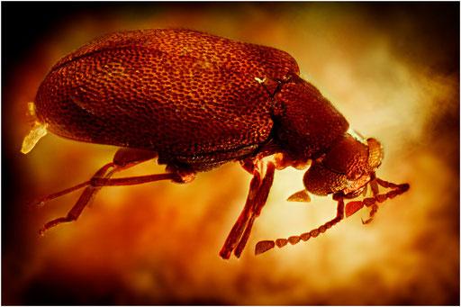 286. Coleoptera, Käfer, Dominican Amber