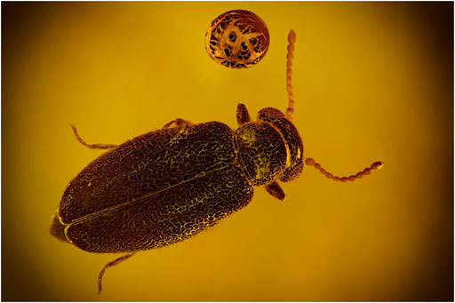 191. Coleoptera, Käfer, Baltic Amber