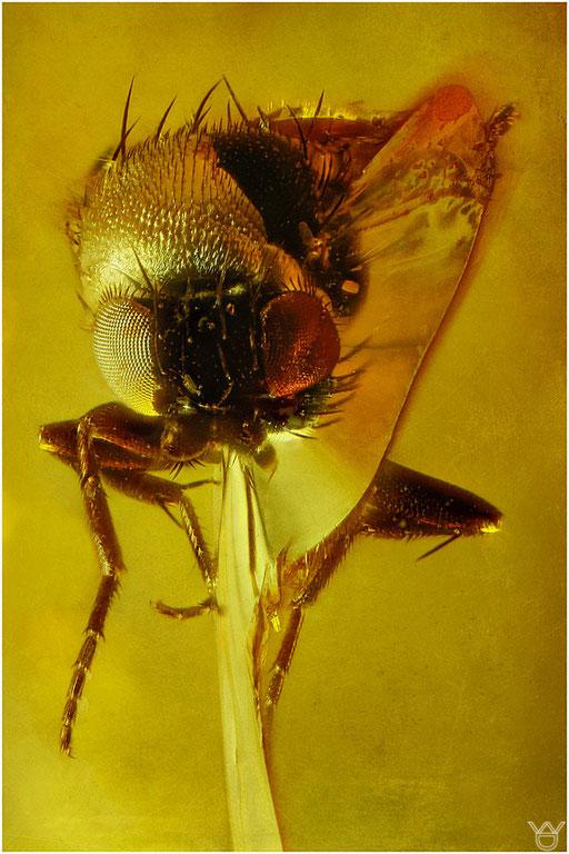 484. Brachycera, Fliege, Baltic Amber