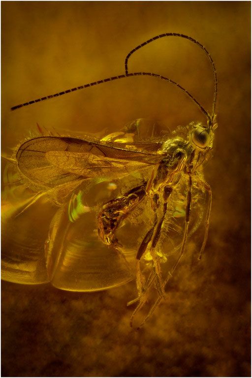 202. Braconidae, Brackwespe, Baltic Amber