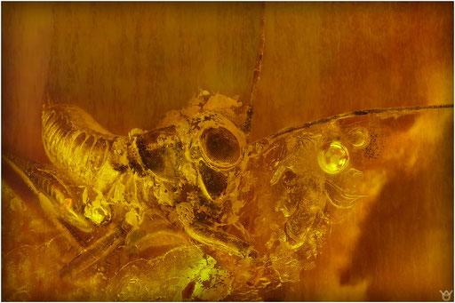 265. Orthoptera, Heuschrecke, Baltic Amber