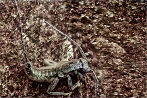 216. Dermaptera, Ohrwurm, Baltic Amber